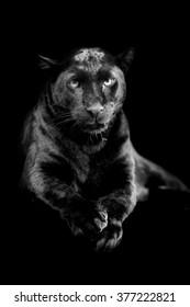 Black leopard on dark background. Black and white image