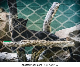 A black leopard with piercing eyes and a pitch black coat of fur lurking in the shadows atop its resting rock behind the fence.