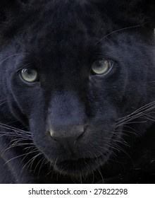 Black leopard taking a rest