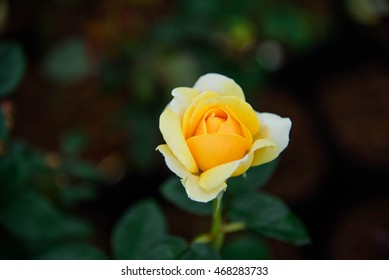 Black lighting and Soft Yellow Rose in the garden