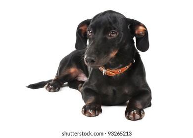 black little dachshund dog isolated on white