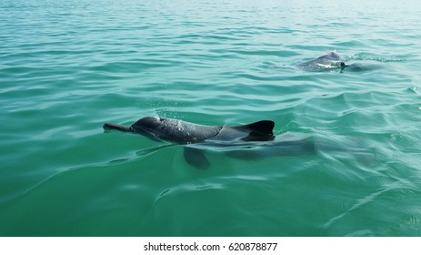 Black Little Dolphins swim In The Sea