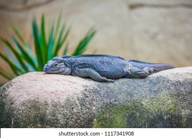 Black lizard sleeping on stone stretching their legs along the body