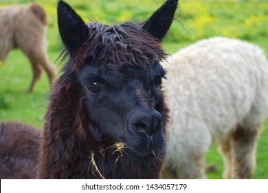 black llama lama head farm animal wool farming agriculture