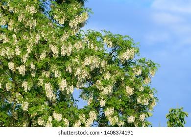black locust, blossom, robinia pseudoacacia