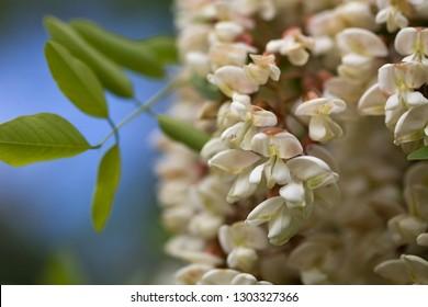 Black Locust flowers (Robinia pseudoacacia),