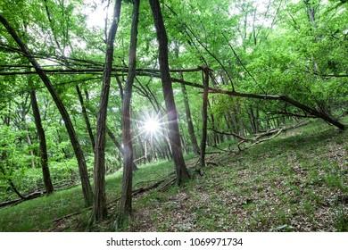 black locust forests tree