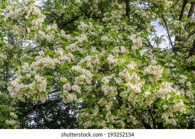 Black locust, Robinia pseudoacacia tree flowers