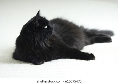 A black long haired cat on white carpet.