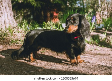 Black long haired dachshund outdoors, dog standing in sunshine, black weiner dog outside in nature