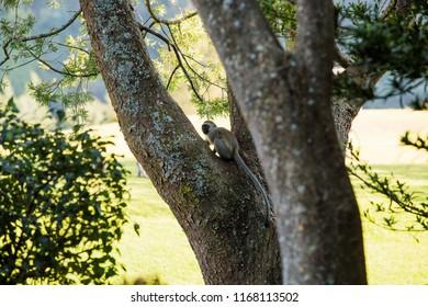 Black long tailed monkey on a tree