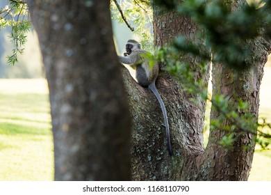 Black Long tailed Monkeys playing in Drakensberg