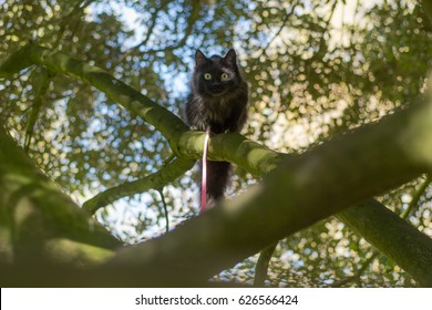 Black long-haired cat on leash climbing tree. Pet cat being taken for exercise on pink lead, with bright yellow eyes