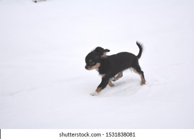 black long-haired Chihuahua in the snow