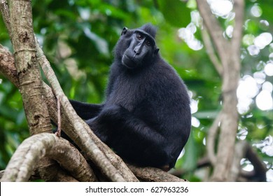 A black macaque male close-up, photographed in the Tangkoko National Park, Sulawesi island.