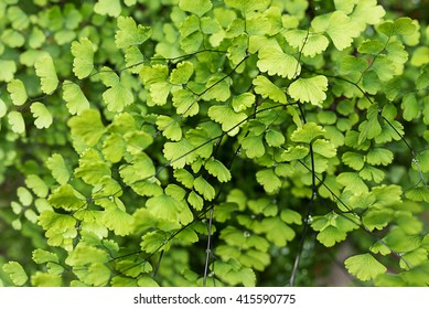 Black Maidenhair Fern plants cover the ground of the natural forest.