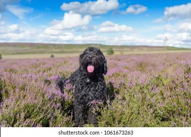 Black male Cockapoo dog on Beeley moor  England,UK.