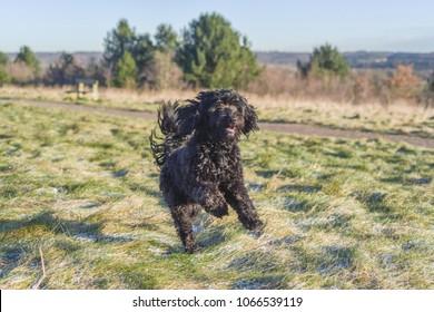 Black male Cockapoo Dog running.