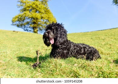Black male Cockapoo dog with stick in Spring rural setting.