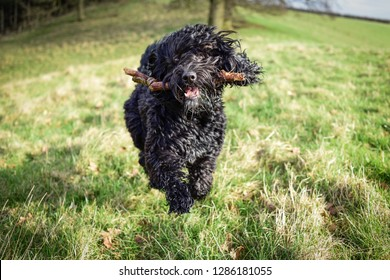 Black male Cockapoo Dog with wooden stick after fetching by retrieving.Dog at play.