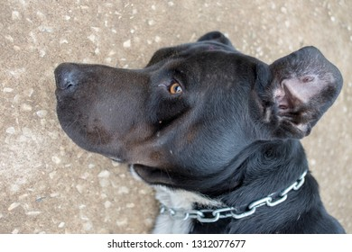 The black male dog with a white chest, wearing a chain collar to know that the owner is lying on the ground.