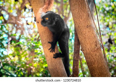 black male lemur on a tree, endemic of lokobe island in nosy be, madagascar, africa