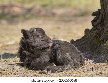 Black male ouessant sheep lamb resting