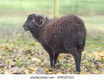 Black male ouessant sheep in meadow