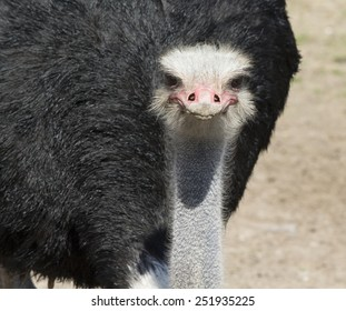 Black Male Somali Ostrich - Image shot in Bayou Wildlife Park
