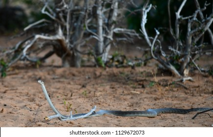 Black Mamba in Chobe National Park