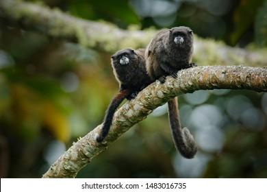 Black Mantle Tamarin (Saguinus nigricollis), monkey from Sumaco National Park in Ecuador.