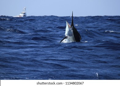 Black marlin with gameboat behind