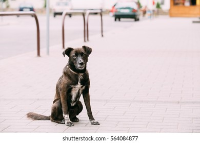 Black Medium Size Mixed Breed Homeless Dog Sit Outdoor On Street