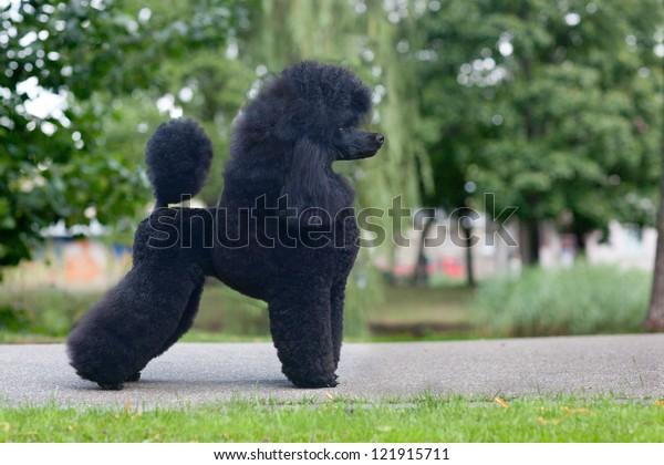 Black medium size poodle female