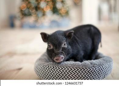 Black mini pig portrait in Christmas lights bokeh