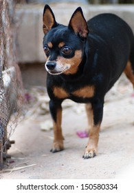 black miniature pinscher dog standing with active acting watching outside