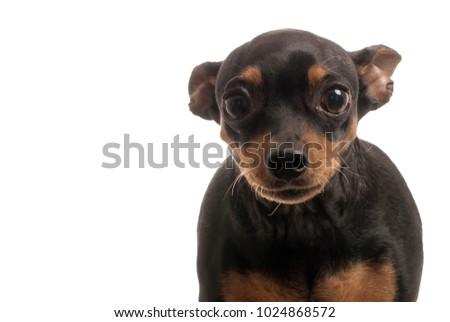 black miniature pinscher pincher stock photo edit now 1024868572