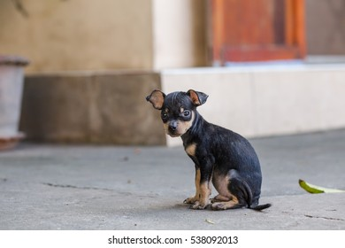 Black Miniature Pinscher sitting on the road