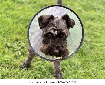 Black miniature schnauzer on the grass with an Elizabethan collar. Sick dog with eye ulcers.