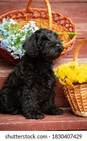 A black miniature schnauzer puppy sits on the red steps in the country house outdoors, with poison with baskets of forget-me-not flowers and dandelions
