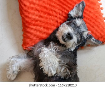 A black miniature schnauzer sleeping tight like a baby on red pillow with copy space