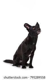 Black mixed breed dog isolated on white background