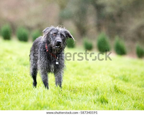 Black Mixed breed dog stood in a field waiting for his owner. He is wearing a collar and id tag. It is raining.