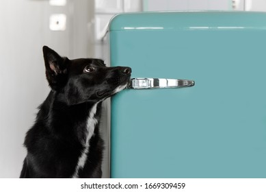 black mixed breed dog waiting for food by the fridge