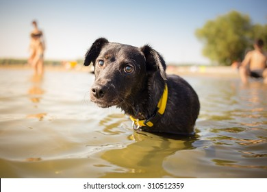 Black mixed breed dog in water portrait