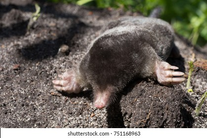 Black mole.