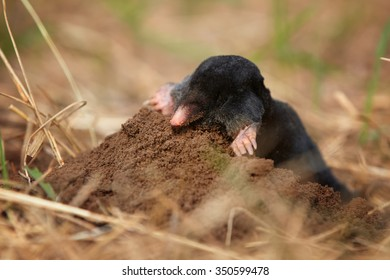 Black Mole, Talpa europaea, on molehill, excavating early spring garden. Isolated, close up mole, low angle photo.  Pest in the garden. Diging up animal.