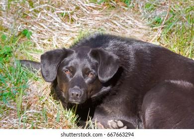 Black mongrel dog sleeping in spring on green grass in warm sun