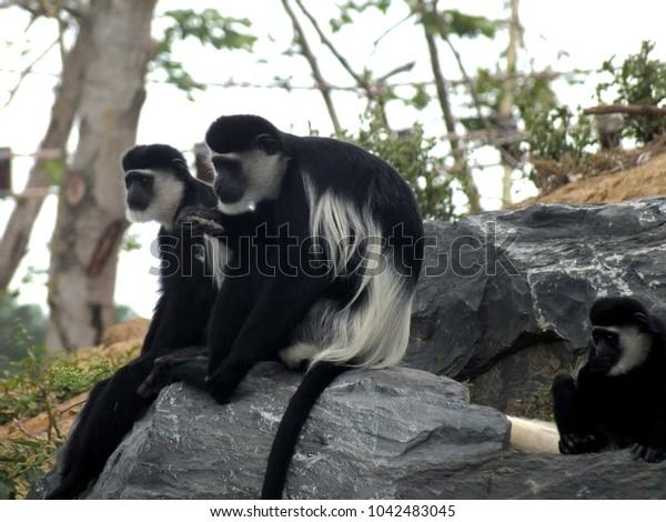 Black monkey  sit down on the rock