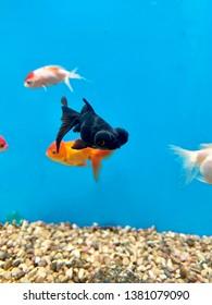 Black Moor fancy goldfish in tank of goldfish
